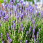lavandula-dentate-french-lavender-garden-design_11717