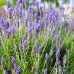 lavandula-dentate-french-lavender-garden-design_11717